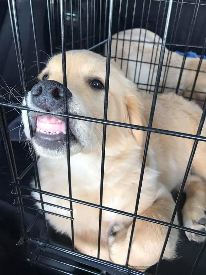 puppy squishing its face against a crate to where its gums and teeth can be seen