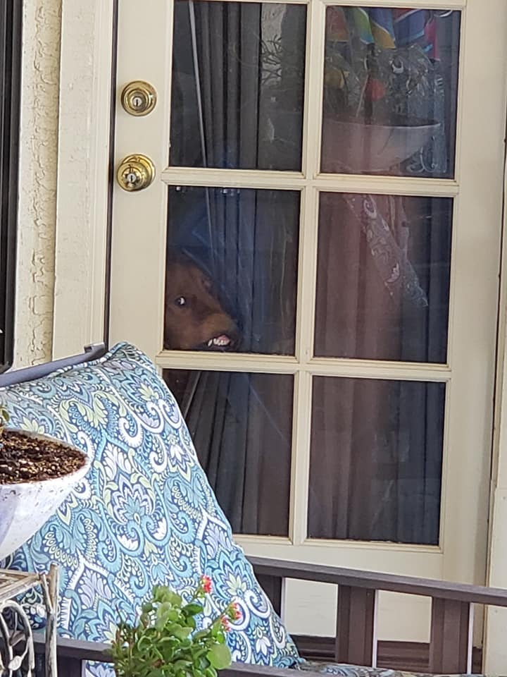 dog moving a curtain out of the way to squish its face against a glass door