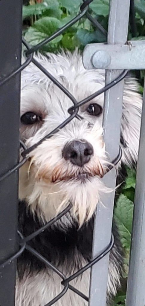 white puppy staring into the distance and pressing its face against a wire fence