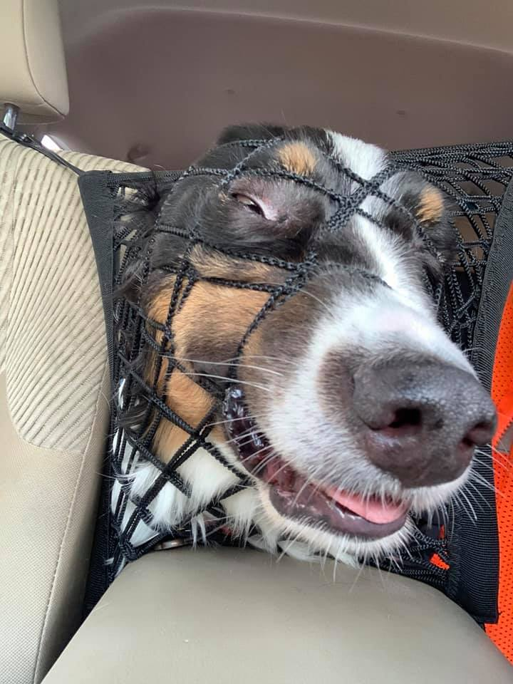 dog smiling and trying to push its face through the a net in the backseat of a car