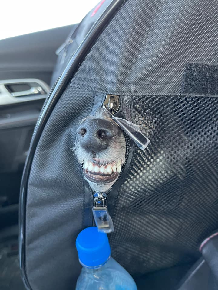 dog sticking its nose and mouth out of a bag and snarling