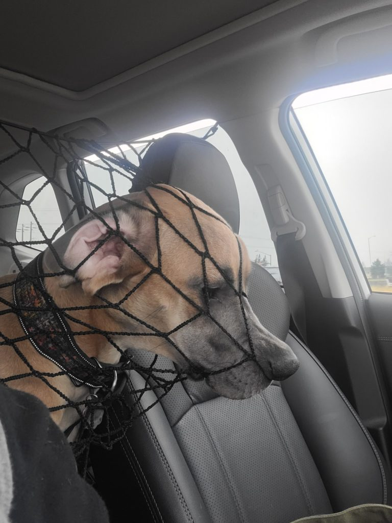 defeated looking dog trying to get past a net from the backseat of a car