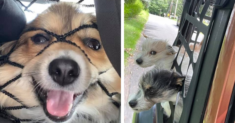 small dog smiling while pushing its face into a net in a car and two dogs sticking their heads out of a car window and through a cargo net