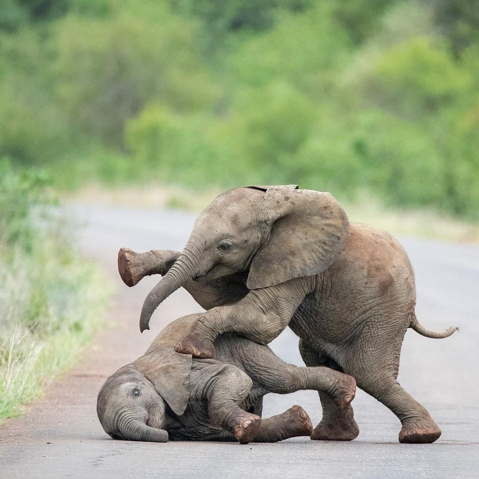 two baby elephants playing
