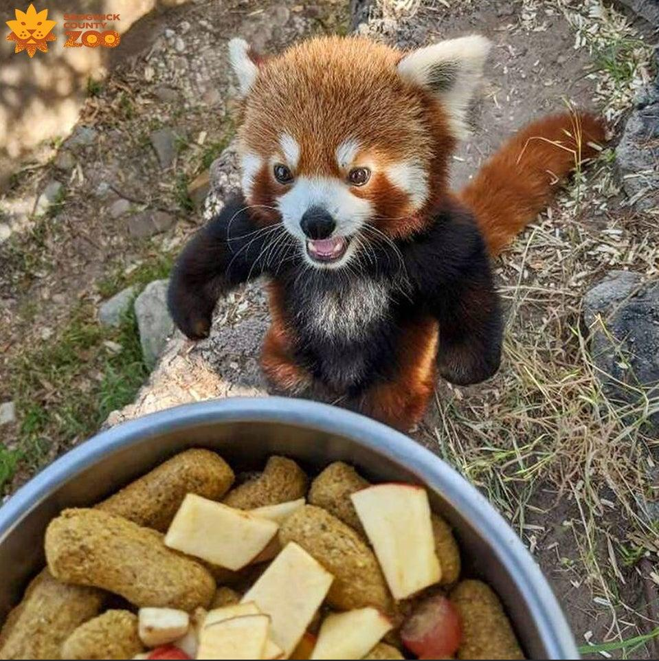 Red panda standing on hind feet