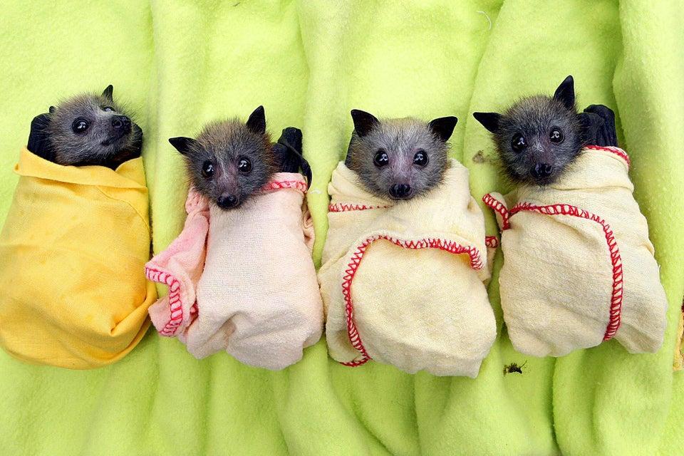 orphaned bats tucked into blankets