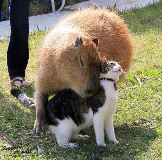 capybara cuddling with house cat