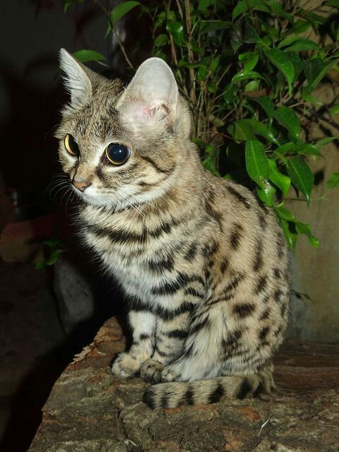 black-footed cat from Africa