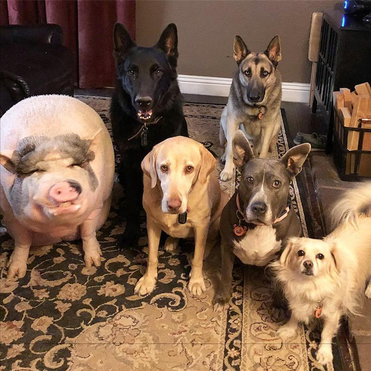 5 dogs and a huge pot bellied pig