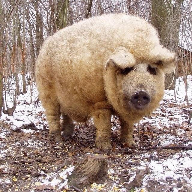 Mangalica furry pig