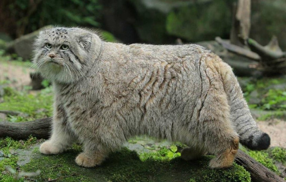 the manul or Pallas' cat of Central Asia