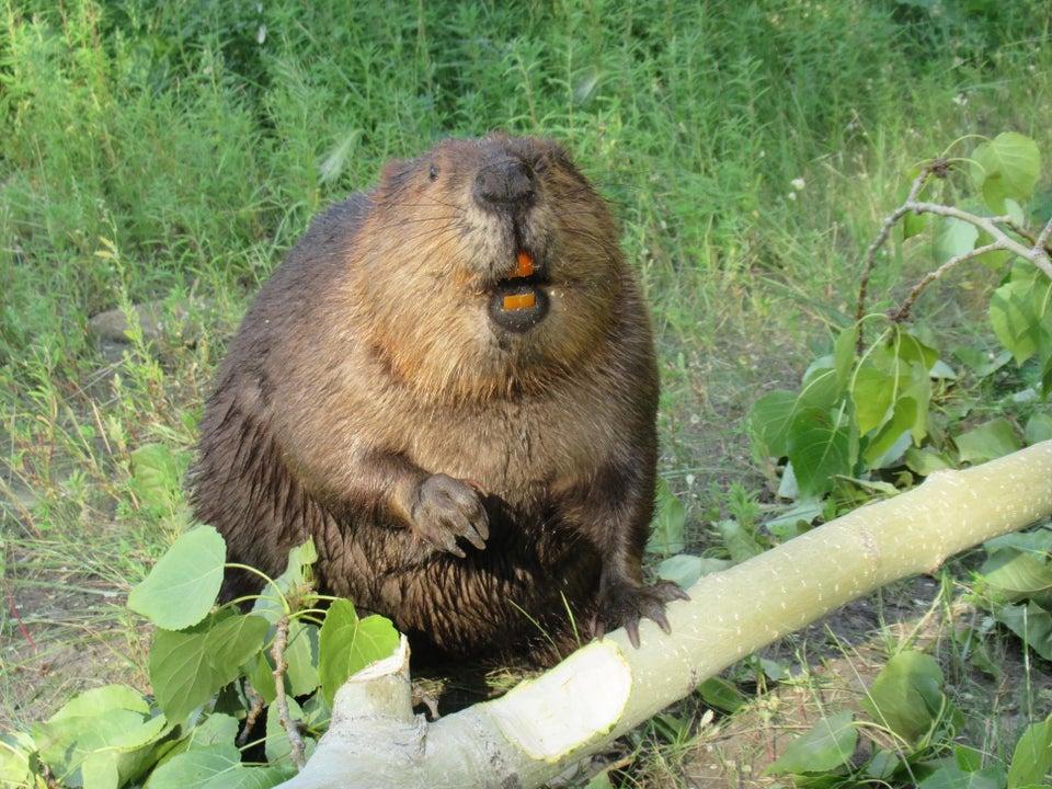 beaver with orange teeth