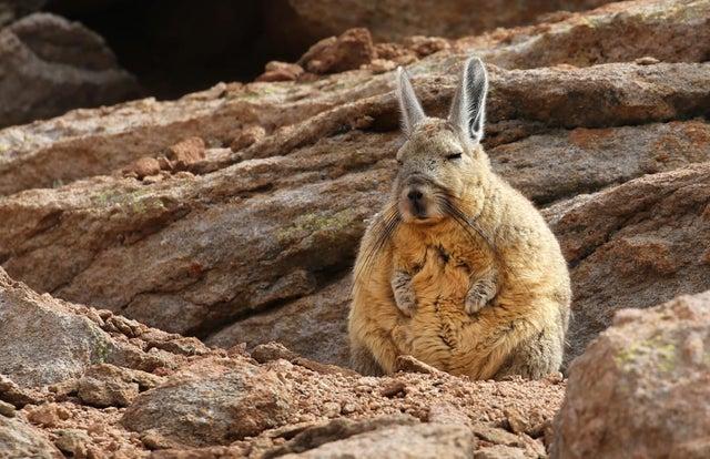 mountain viscacha or sensei rabbit