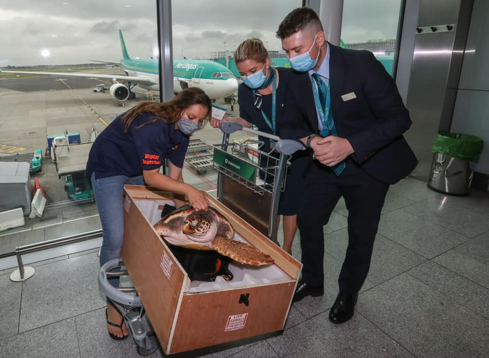 three adults wearing masks and lifting a turtle out of a crate in an airport