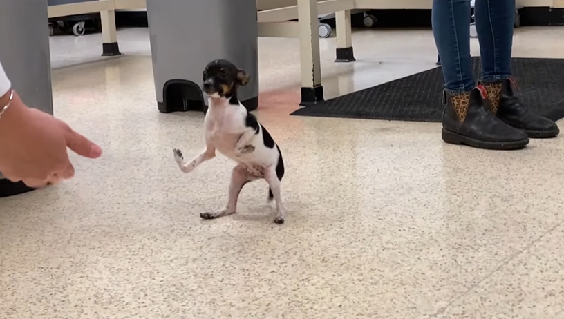 someone's hand reaching out to a rat terrier with upside down front paws standing on its back paws