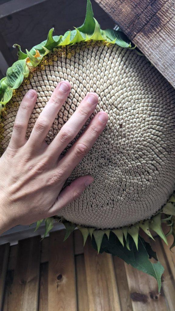 sunflower bigger than a human hand