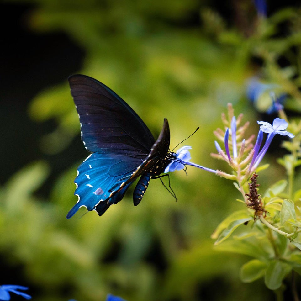 blue butterfly eating nectar from blue flower