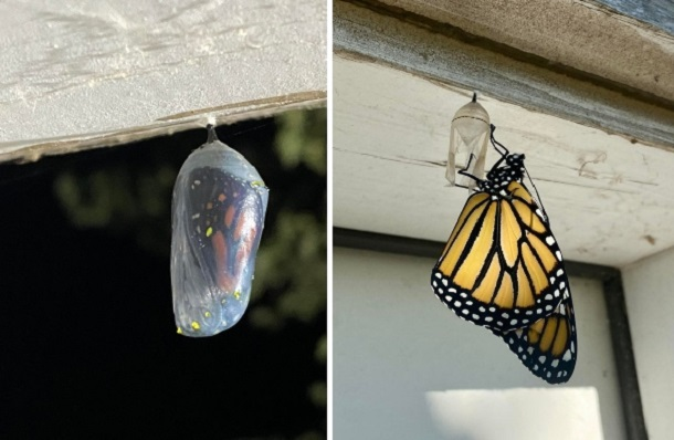 cocoon and butterfly