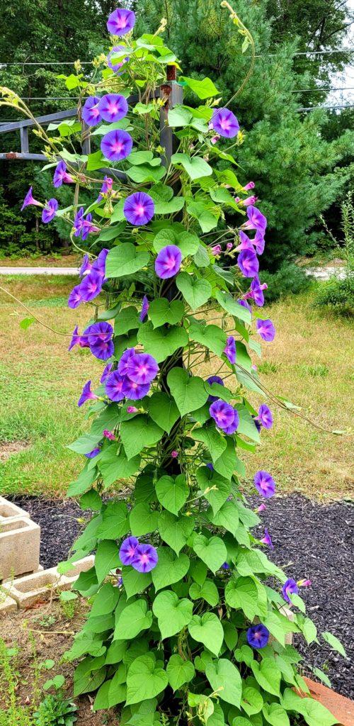 purple morning glories in bloom