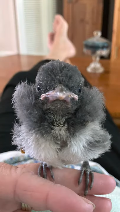baby scrub jay standing on fingers