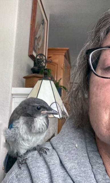scrub jay standing on a woman's shoulder