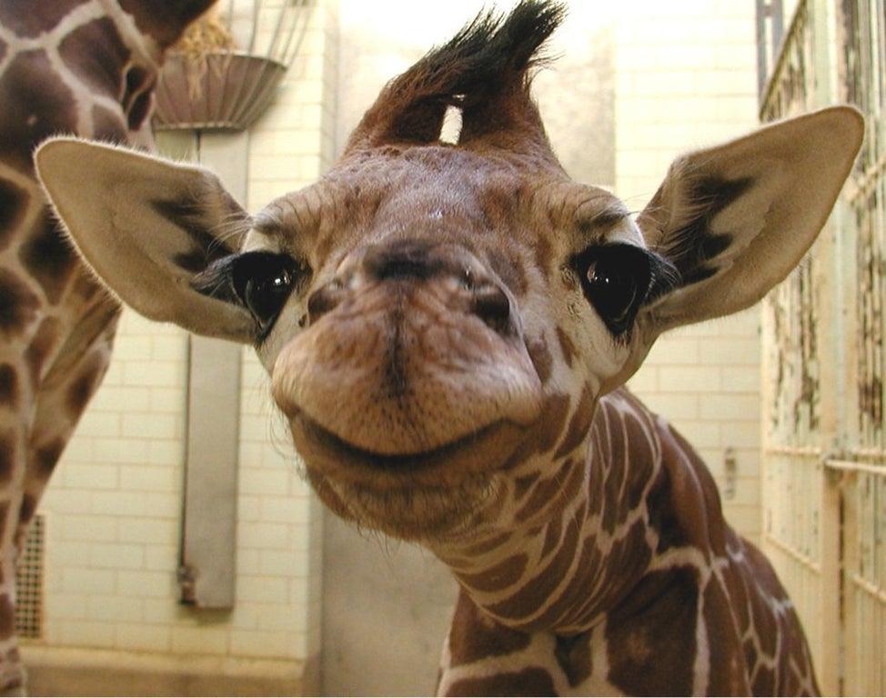 newborn giraffe smiling