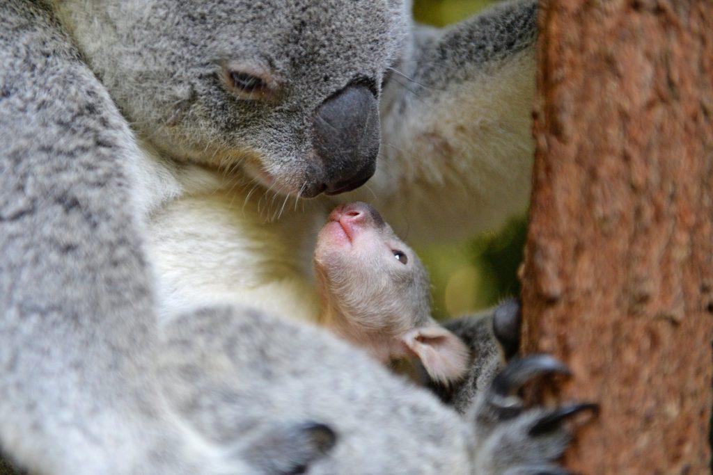 baby koala bear and mother