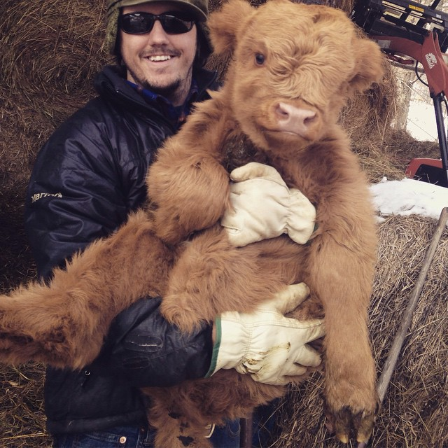 baby highland cow and farmer