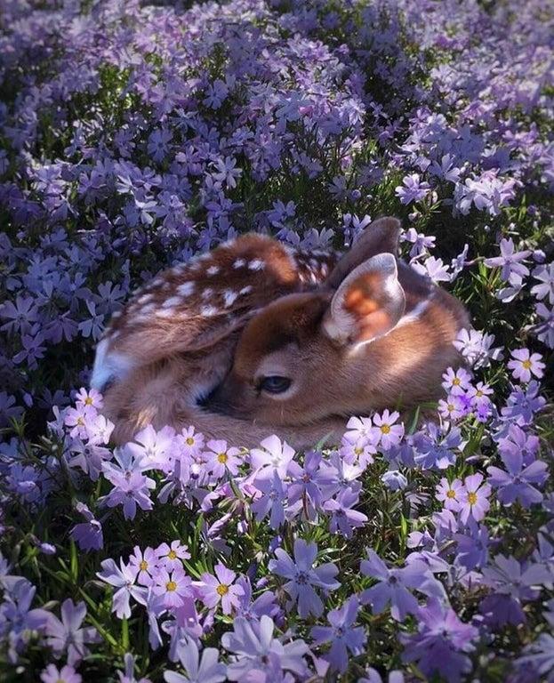 baby deer sleeping in purple flowers
