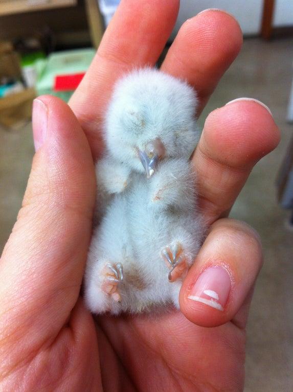 newborn screech owl