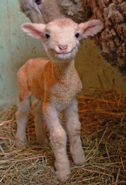 smiling baby lamb