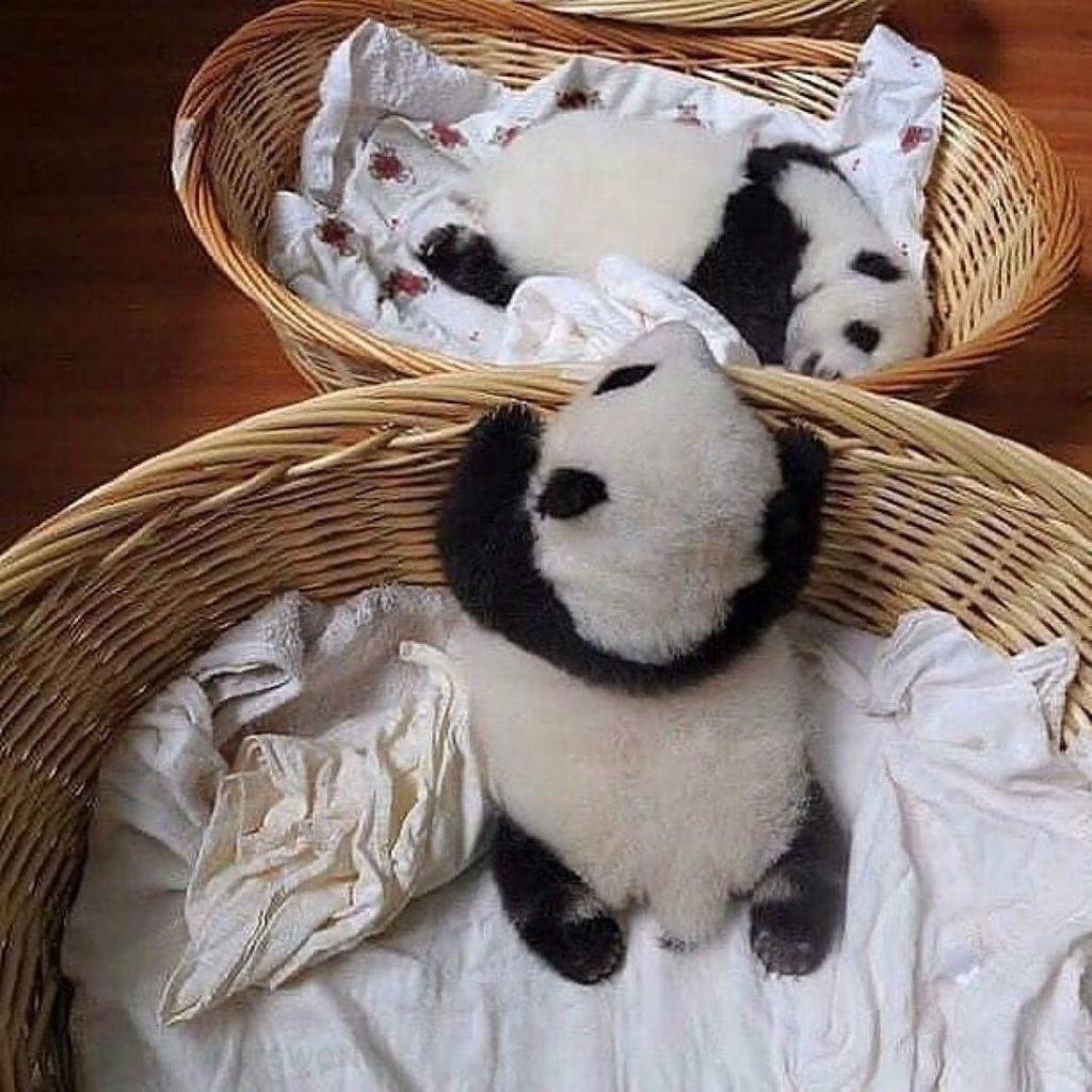 two baby pandas