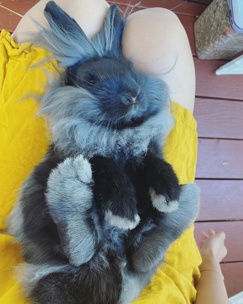 sleeping lionhead rabbit