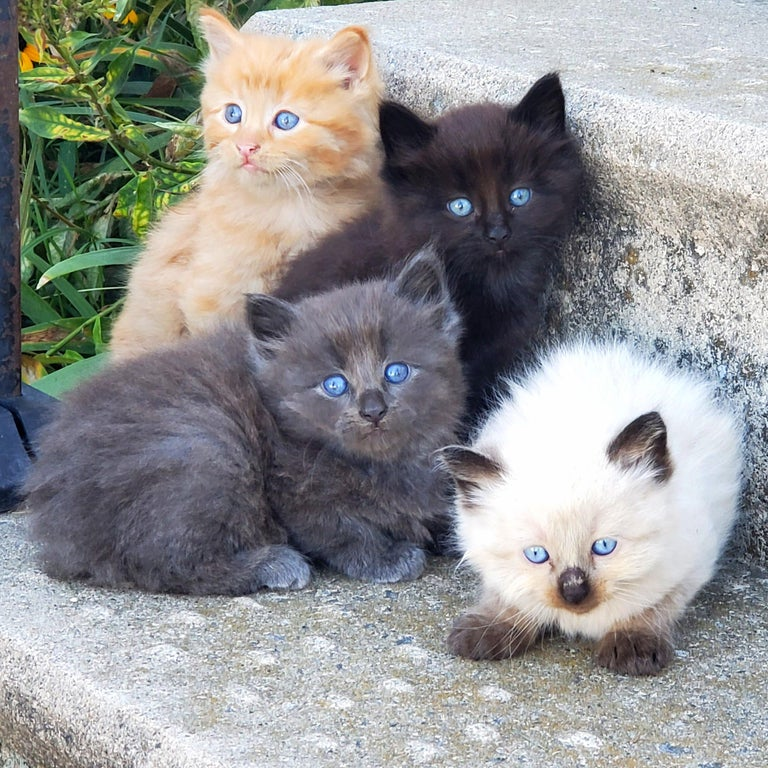 four long hair baby kittens with blue eyes