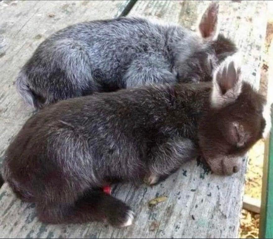 two sleeping baby burros