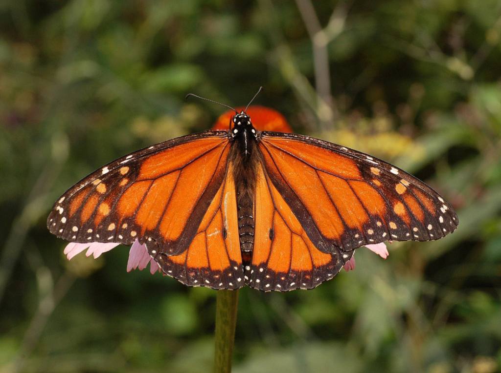 monarch butterfly on a flower with its wings spread out