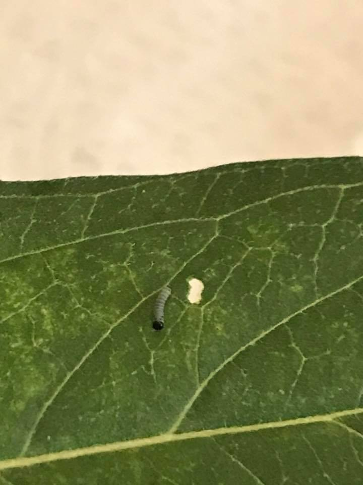 caterpillar crawling on a leaf with a hole in it
