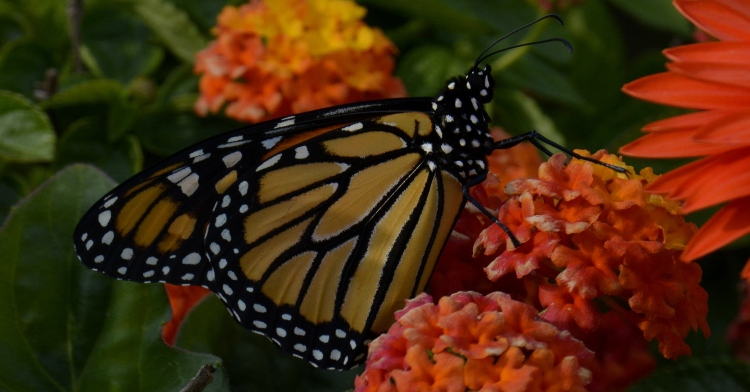 monarch butterfly resting on one of many orange flowers