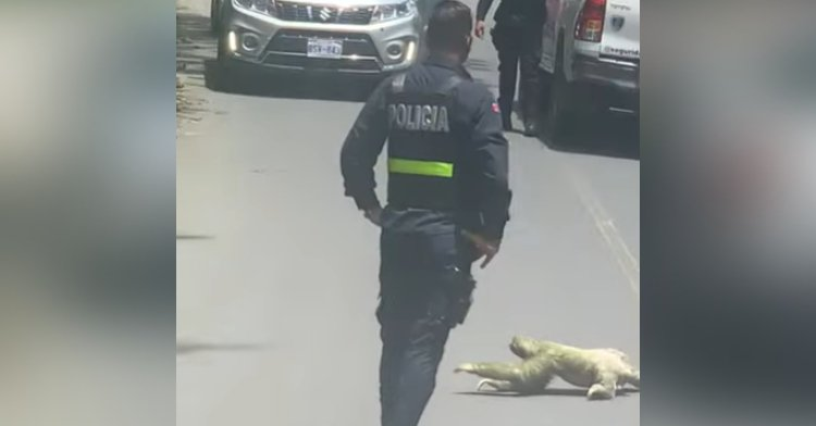 police officer standing in the road while a sloth crosses it