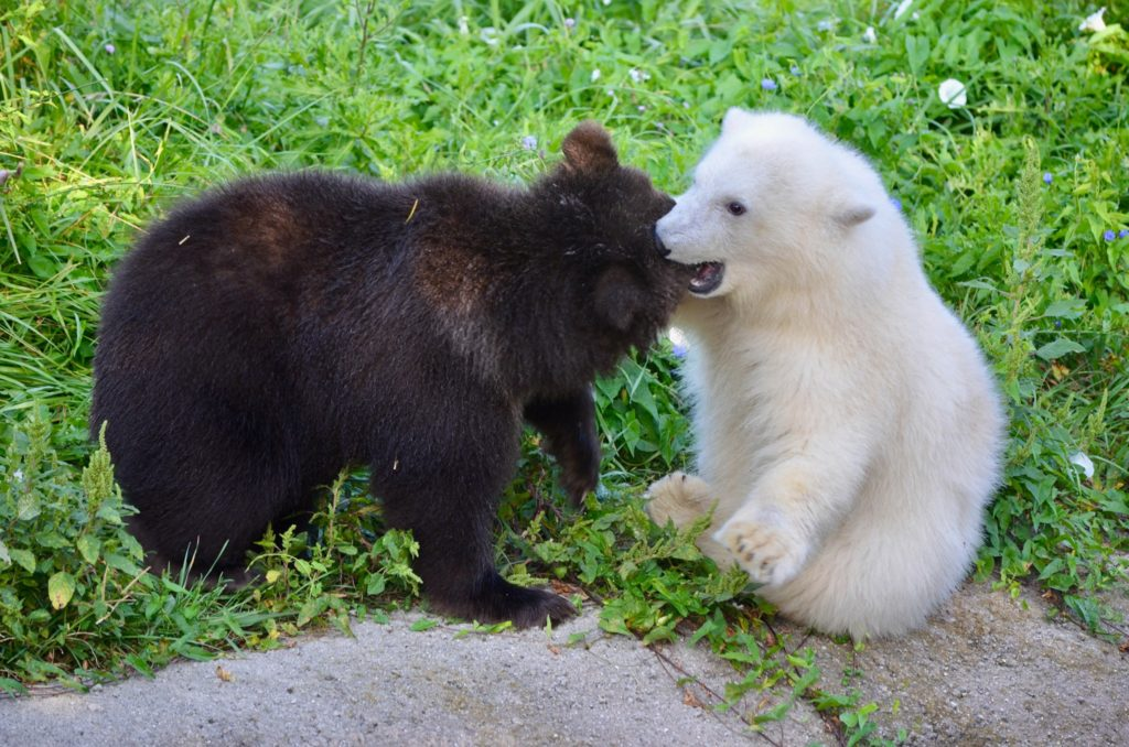 grizzly bear cub and a polar bear cub playing in a grassy area