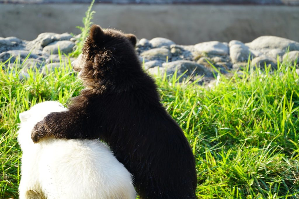 grizzly bear cub with his arm around a polar bear cub inside a grassy area with rocks in the distance