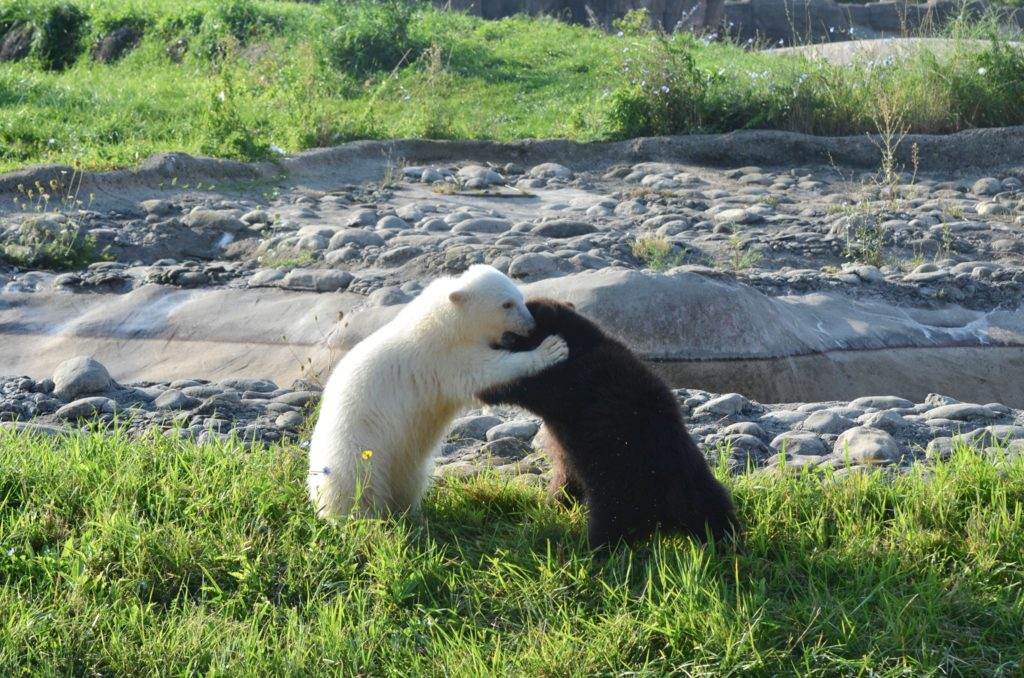 polar bear cub and grizzly bear cub play fighting in a grassy are with a rocky area behind them