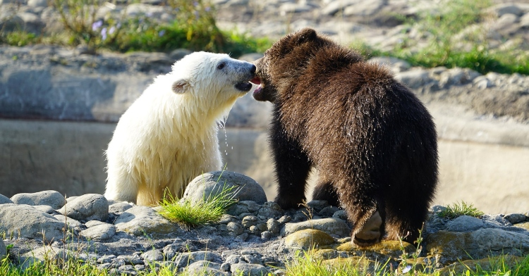 polar bear cub and grizzly bear cub play fighting in a grassy and rocky area